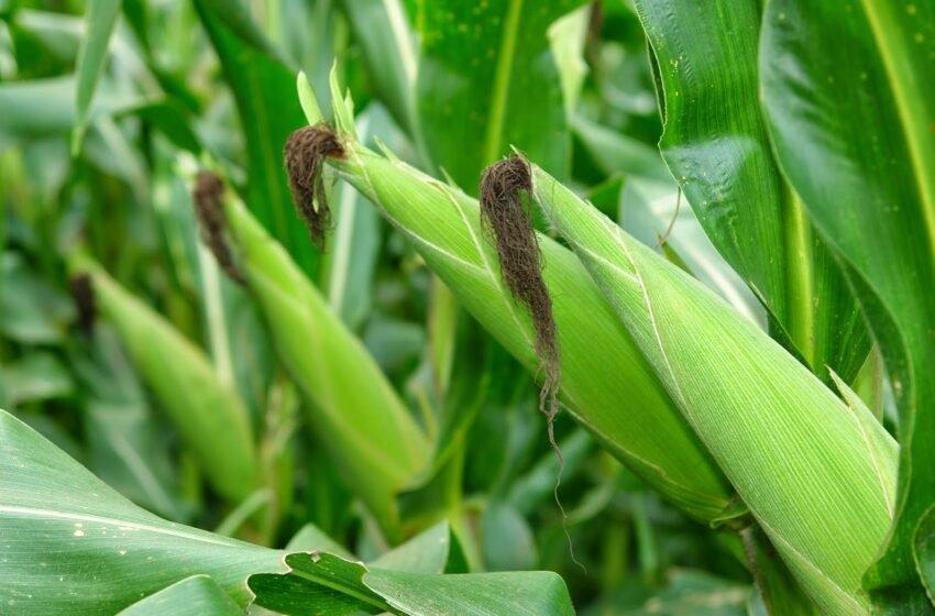 Prorrogada a redução do ICMS do milho em Sergipe
