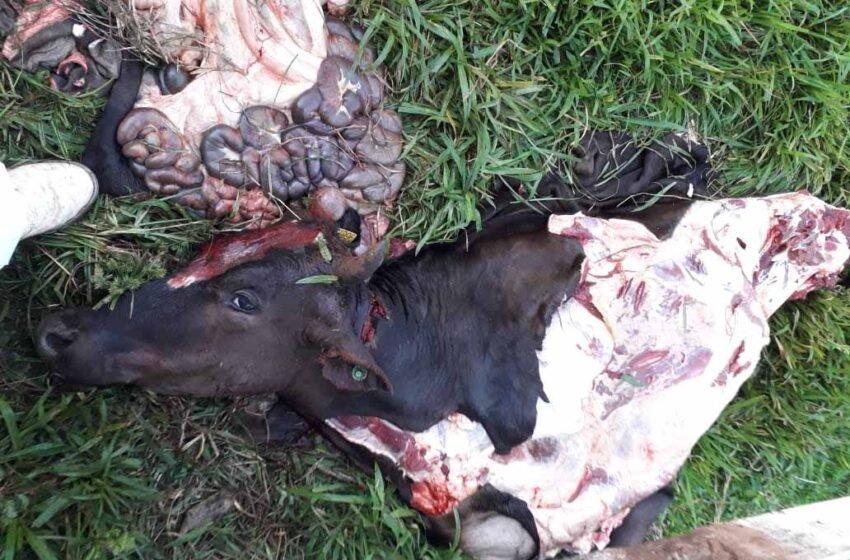 URGENTE: Furto de gado é registrado nesta madrugada em Tobias Barreto